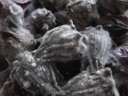 Black mold under a microscope
